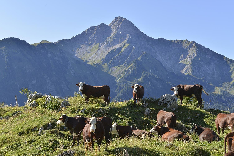 Vache dans le village d'Abondance